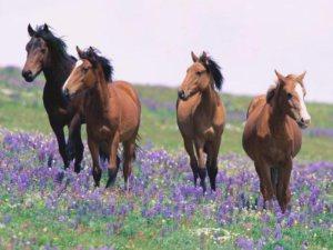 field-horses